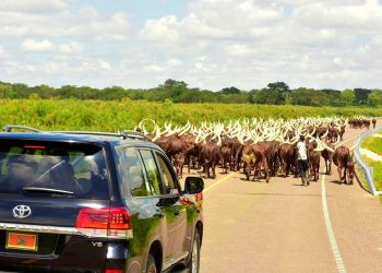President Museveni has defended a picture of his cows walking on tarmac,clarifying that the road was for public use (PHOTO/PPU).