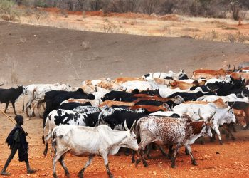 A young Karimojong pastoralist grazing their animals in Kobebe water dam early this year (photo by Jonathan Opolot