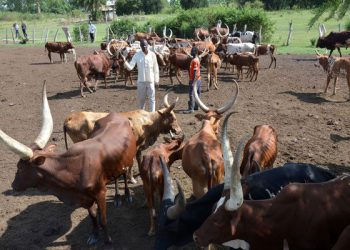 A farmer tends to his cattle