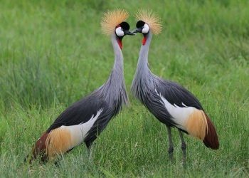 The grey crowned crane, also known as the African crowned crane, golden crested crane, golden crowned crane, East African crane, East African crowned crane, is Uganda's most respected bird[s] (PHOTO/File).