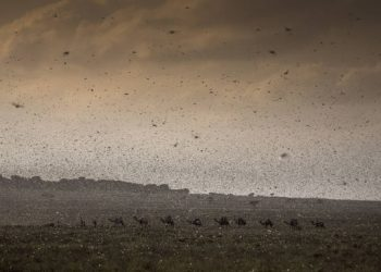 The locust outbreak is the worst to strike Ethiopia and Somalia for 25 years and the worst infestation that Kenya had experienced in 70 years (PHOTO/File)