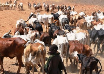 A Karimojong pastoralist rears livestock in Moroto District in March 2015. The region registered cattle raids during the festive season