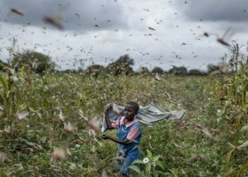 The swarms of locusts continue to spread to other districts in the region and laying of eggs is expected to continue while other locust swarms are still invading Uganda from Kenya  (PHOTO/File)