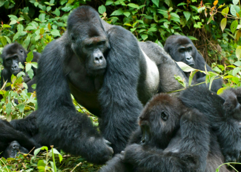 The Gorilla Trekking Experience is one of the most thrilling, lifetime adventures you should include in your lifetime activities. No one can fully describe the joy and wonderful moment attached to the first setting eyes on a wild mountain gorilla (PHOTO/File)