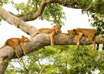 Queen Elizabeth is the only park in Uganda where tree climbing lions can be found (PHOTO/File)
