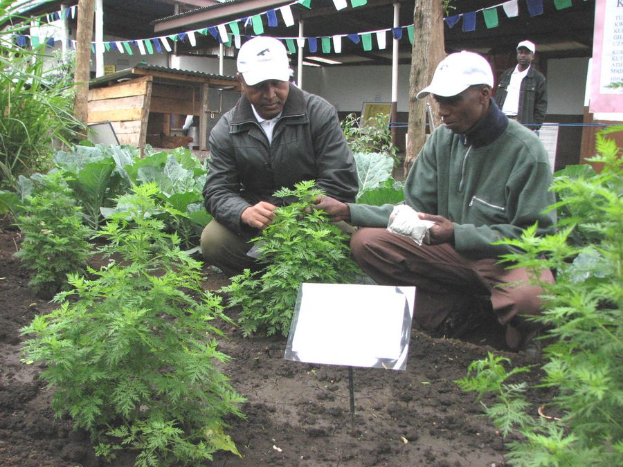 File photo shows an agricultural technician (L) teaching a farmer how to plant Artemisia Absinthium at the Nane Nane Festival in Arusha, Tanzania. Artemisia Absinthium is the raw material of Artemisinin, which is the key element in anti-malarial drugs. (Xinhua/Yi Gaochao)