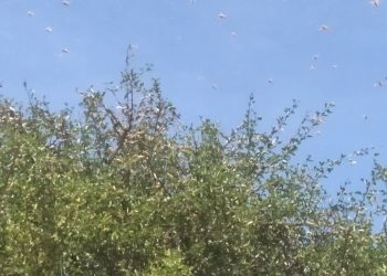 Desert locusts have invaded Moroto again (PHOTO/Courtesy)