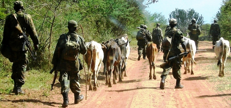 UPDF soldiers driving recavered animals raided by the Karimojong last week in Kaabong (photo by Jonathan Opolot