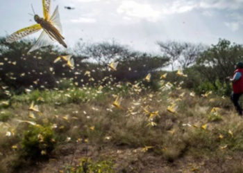 Swarm of locusts in western Kenya. Uganda to buy aircraft for aerial sprays against locusts