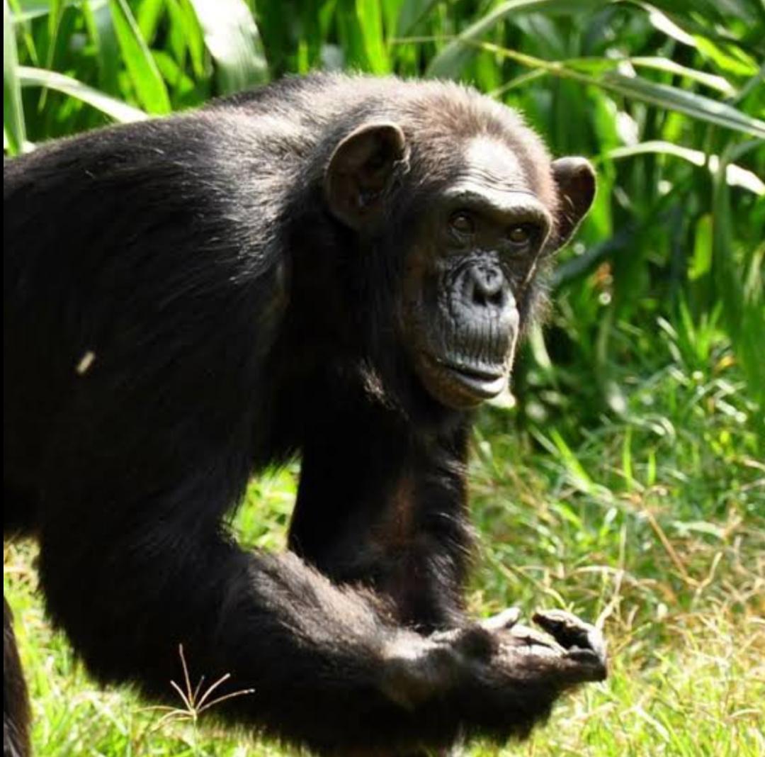 Chimpanzee Zakayo