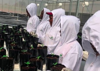 Workers tend cannabis seedlings at a farm owned by Industrial Hemp Ltd in Kasese District (PHOTO/Courtesy).