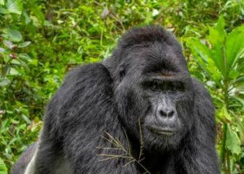 The late Mountain Gorilla's; Rafiki (PHOTO/Courtesy).