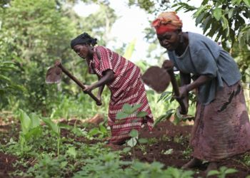 Uganda's main food crops have been plantains, cassava, sweet potatoes, millet, sorghum, corn, beans, and groundnuts. Major cash crops have been coffee, cotton, tea, cocoa, vanilla and tobacco, although in the 1980s many farmers sold food crops to meet short-term expenses (PHOTO/File).