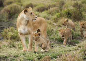 World Lion Day supports and promotes charities and foundations that instill awareness of the great need for conservation efforts and sustainable solutions for addressing the global dwindling wild lion population in fulfilling our mission to protect and save the lions (PHOTO/Courtesy).