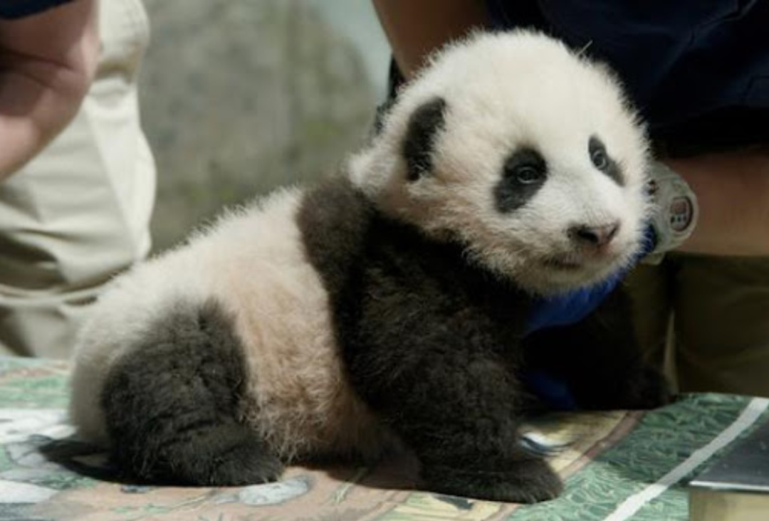 "Photo posted on Nov. 20, 2020 shows the three-month-old giant panda cub ""Xiao Qi Ji"" is examined by the veterinarians at the Smithsonian's National Zoo and Conservation Biology Institute in Washington, D.C., the United States. (Photo credit: Smithsonian's National Zoo and Conservation Biology Institute)"