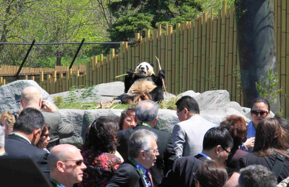 File photo shows giant panda Da Mao at the Toronto Zoo in Toronto, Canada.(PHOTO/Xinhua).