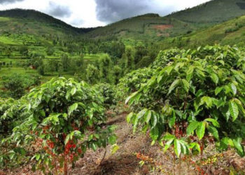 Rwanda's majority of its coffee is grown by some 400,000 small-scale farmers and their families, most of whom own less than quarter a hectare of land each (PHOTO/File)